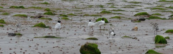 Mediterranean Gulls Broadsands 10 July 2015 ML