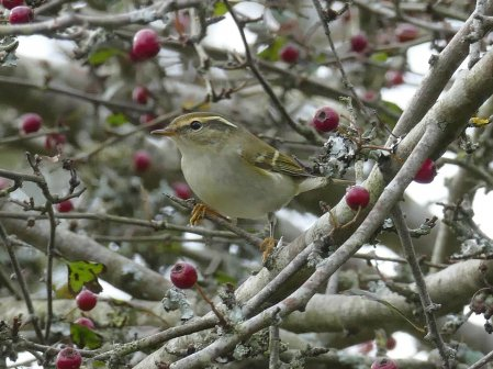 Yellow-browed Warbler Higher Brownstone Kingswear 201 Oct 2016 ML