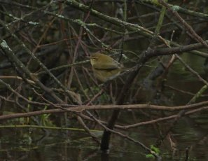 Chiffchaff Clennon Lakes 6 Dec 2108 ML