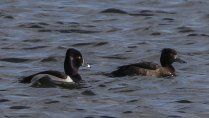 Male Ring-necked Duck with Female Tufted Duck
