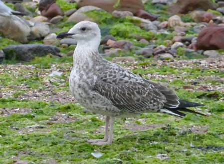 Yellow-legged Gull juv Broadsands 23 Aug 2018 ML