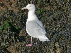 GlaucGulladBrixhn150214ML blog 2
