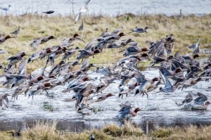 Large Format Photo LF5 - Wigeon by Colin Scott