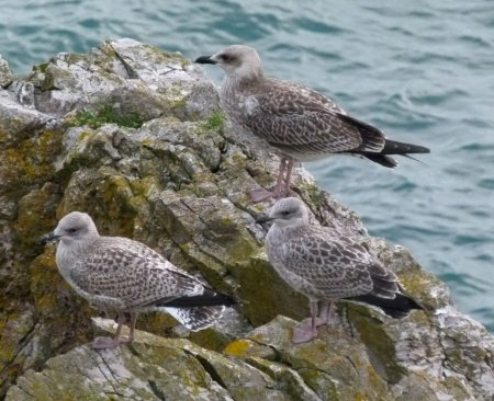 Yellow-legged & two Herring Gulls Berry Hd 040813 ML
