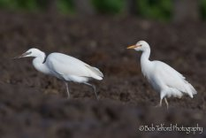 Little Egret and Cattle Egret