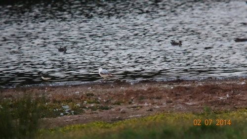 Ross's Gull + Green Sandpiper