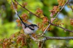 Long-tailed Tit © Chris Bollen, 1/5/2018, Lympstone, Tit sat in bushes alongside cycle path