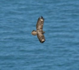 Buzzard below