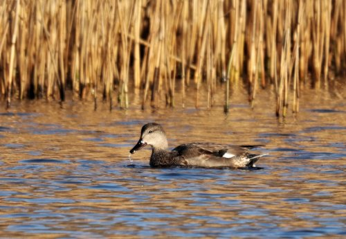 Unidentified duck (Gadwall possible contender)