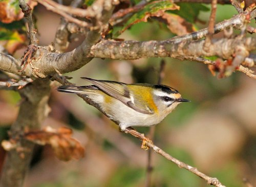 Firecrest by Chris Townend