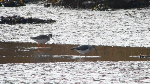 Spotted Redshank & Greenshank at Viewing Platform