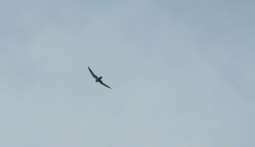 hobby - they never normally linger long at Orcombe