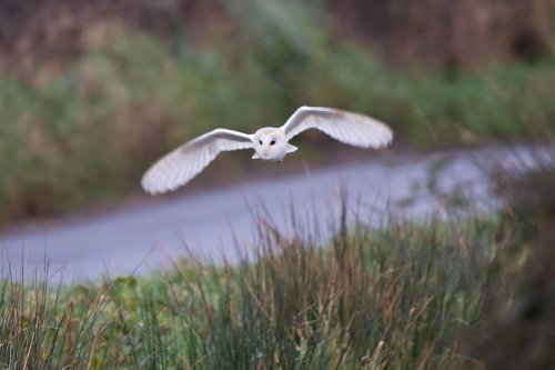 Barn owl at Velator