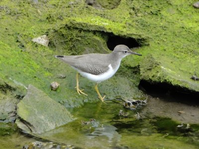 Spotted Sandpiper, Blaxton Meadow 10.9.11, Pete Aley