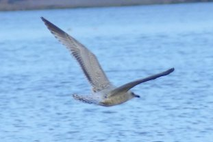 pale juv Herring Gull Goodrington 28 July 2016 ML