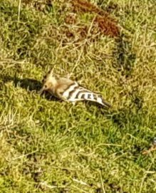 Hoopoe. Wotter 1/11/18. Image resized 4/11/18