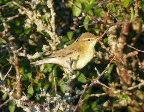 willow Warbler Berry Hd 4 Sep 2015 ML
