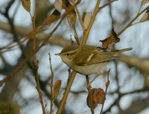 Yellow-browed WarblerBroadsands 24 Dec 2015 ML2