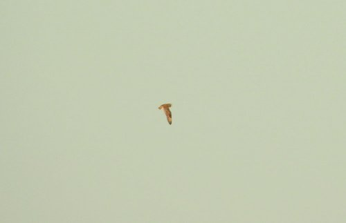 Short-eared Owl Beer Head