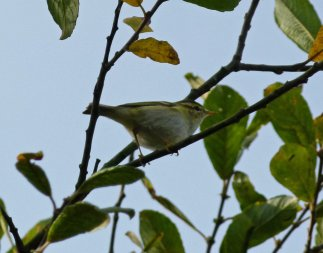 Yellow-browed Warbler Broadsands Torbay 12 Nov 2014 ML