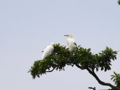 3 Cattle Egret at Powderham Park