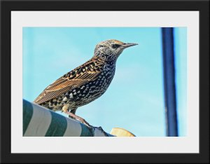 Photo 30 - Starling by Mike Jones