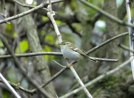 Yellow-browed Warbler Sharkham Pt 16 Oct 2016 ML