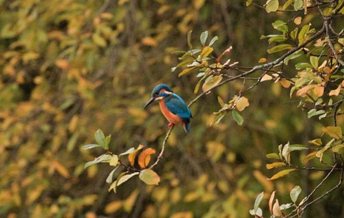 Kingfisher fishing on the canal