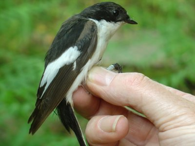 Pied Flaycatcher, Dartmoor, Tony John