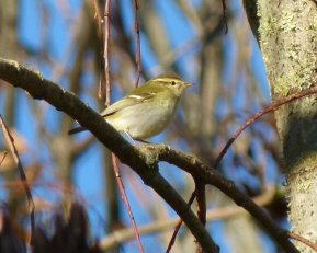 Yellow-browed Warbler clennon Vly 9 Dec ML