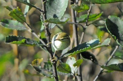 Yellow-browed Warbler, Barry Rankine Soar Farm