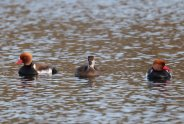 Two males and a female Red crested Pochard.