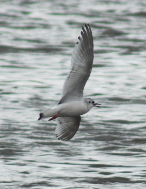 Little Gull - Topsham 15/5/2013