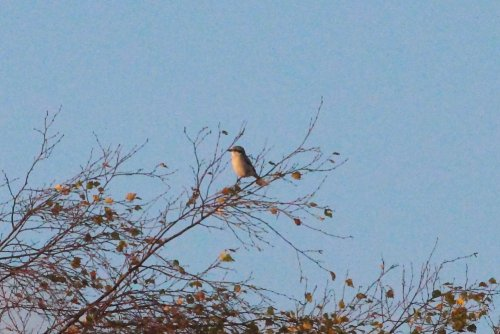 Great Grey Shrike at Colaton Raleigh Common