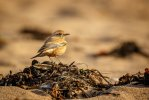 Desert Wheatear © Andy Brown, 29/11/2016, Thurlestone Beach, My entry for the Bird Portraits category of the 2017 Photography Competition