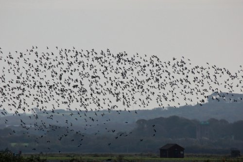 Aerial display by Golden Plover and a few Lapwing