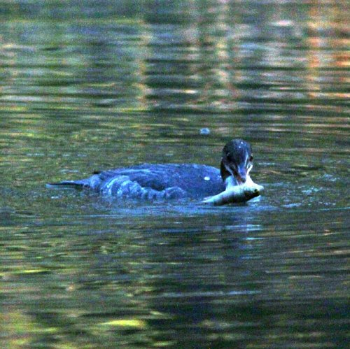 Goosander with fish