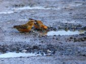Common Crossbill m