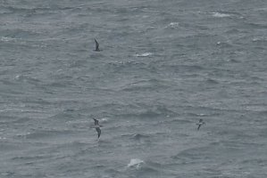 Cory's, Great & Manx Shearwaters