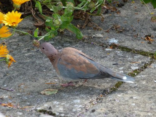 Laughing Dove (c) P&L Clarke