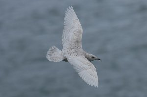 Iceland Gull (juvenile/1st winter)