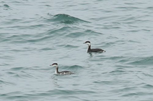 Slavonian Grebes off Chruston Point