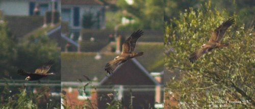 Marsh Harrier juvenile - Topsham 16/10/2013