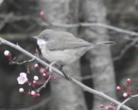 lesser Whitethroat Paignton Feb 2020