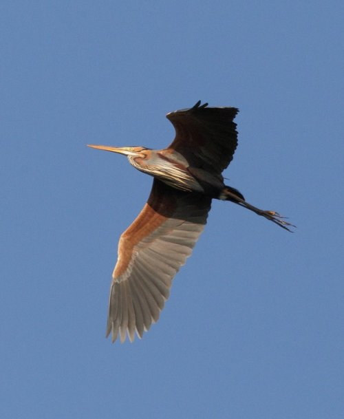 Purple Heron - Alan Doidge 26.04.16