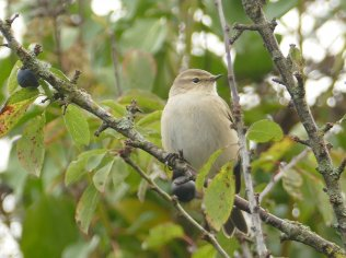 Siberian Chiffchaff Berry Hd 29 Oct 2018 ML