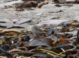 Water Pipit - record shot