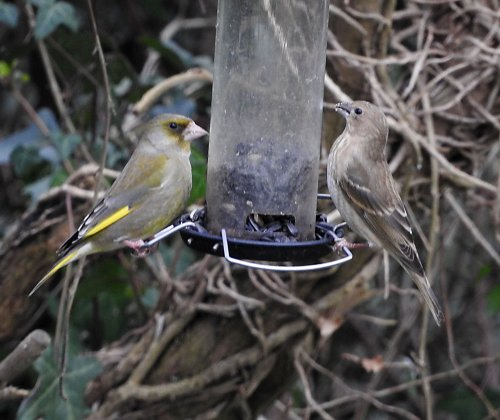 Common Rosefinch with Greenfinch