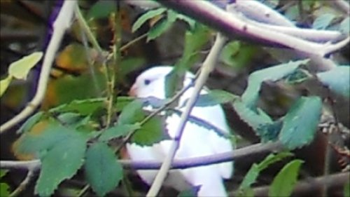 Best still from vid of Albino Bird
