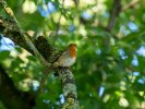 Robin © Wayne Emery, 31/8/2020, Plym Bridge